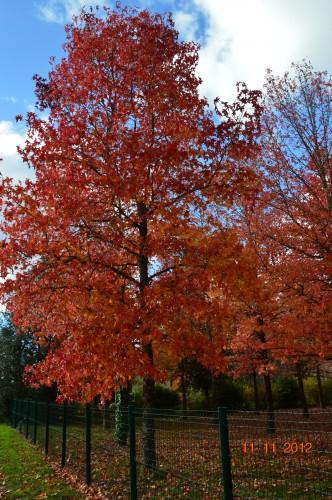petit érable,le canal et lejardin àl'automne 122.JPG