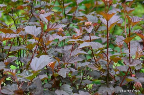 roses,Lalinde,toit cabane,pourpre,eglise,jardin tondue 086.JPG