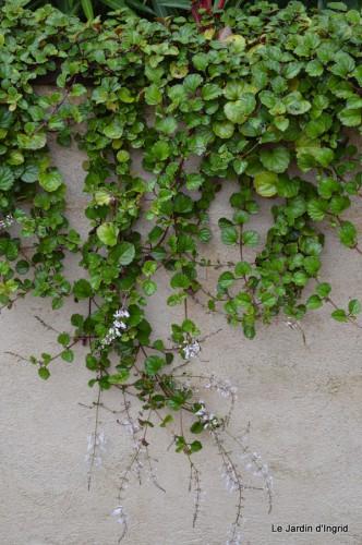 ménage automne,plectanthrus,feuillages 072.JPG