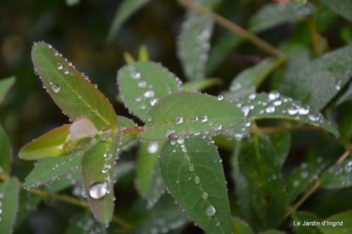 ménage automne,plectanthrus,feuillages 066.JPG