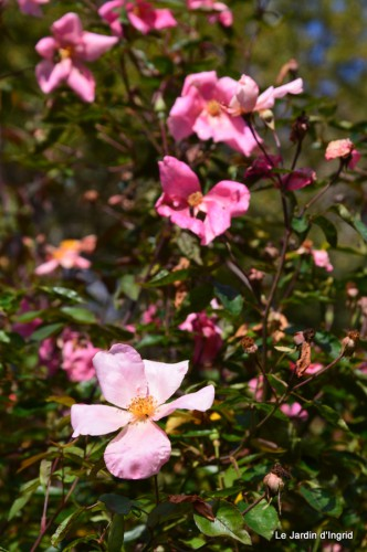les roses tr s longue floraison le paradis d 39 une passionn e. Black Bedroom Furniture Sets. Home Design Ideas