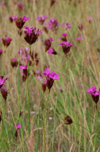 Dianthus_carthusianorum_ssp._carthusianorum_Berlin_14_110611.jpg