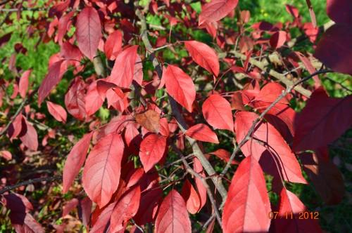 Ciron,feuilles d'automne,safran,taille érable 138.JPG