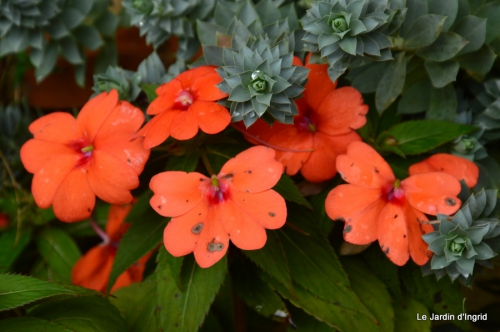 travaux,érable rouge,abeilles,Monpazier,jardin 055.JPG