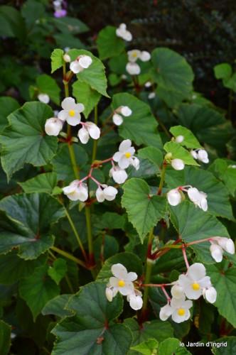 jardin,asters,fleurs blanches,chatte,rosiers roses 129.JPG