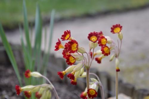 fleurs Ciron,jardin,canards,coucous,mauvaise herbe 024.JPG