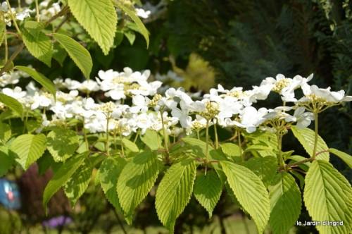 iris,arbre de judée,pivoine,Arya,viburnum,pts plants,cytise,akéb 031.JPG
