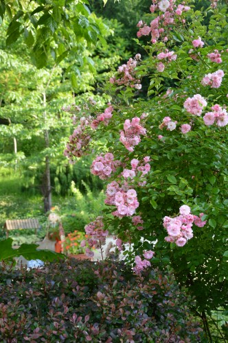 potager ,roses,jardin 005.JPG